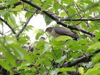 ツミが子育て中 - コーヒー党の野鳥と自然 パート2