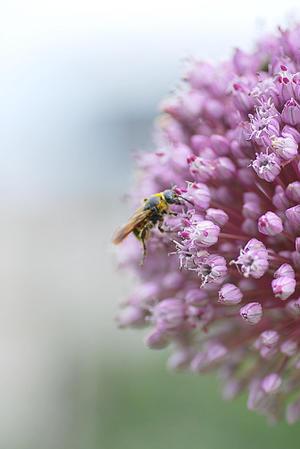 6/22 蜂はネギが好き? - 「あなたに似た花。」