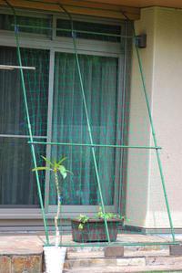 6/23 初めてのグリーンカーテン(切望) - 「あなたに似た花。」