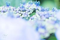 ゆるふわ紫陽花 - F e e l