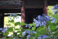 鎌倉 妙本寺 紫陽花 - 暮らしを紡ぐ