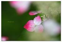 紅額紫陽花 - toru photo box