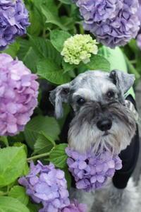 紫陽花とおニューのレインウェア - cookie's cookie