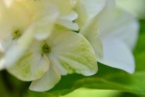 真っ白&グリーンのオシャレな紫陽花マジカル・ノブレス。。。 - 元英国在住アート・セラピストが造る癒しの庭