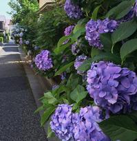 紫陽花 - kukka kukka