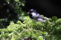 ヒガラ - 比企丘陵の自然