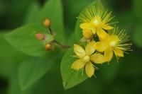 庭に咲く初夏の花 ⑥ ヒペリカムと千鳥草  - 風の彩り-2
