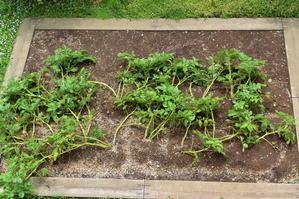 ジャガイモ収穫 - おうちのなかみ