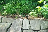 今季初撮り 翡翠 幼鳥 - 生きる。撮る。