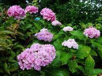 庭の紫陽花 - ろりぽりの花