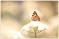 クリーム色も似合うベニシジミ。 - Season of petal
