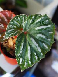 ベゴニア・ロセオプンクタータ #3 - Blog: Living Tropically