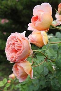 今日の庭 アブラハムダービー2番花 - シェーンの散歩道