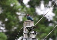 初夏のブッポウソウ - 鳥見って・・・大人のポケモン