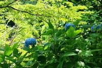吉野山のアジサイが咲いてきました! - 吉野山 吉野荘湯川屋 あたたかみのある宿 館主が語る