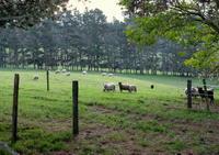 雨、アンガス牛、お線香/ Rain, Angus Cows, Lavender Insents - アメリカからニュージーランドへ