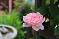 雨上がりのマサコ様♫ - kekukoの薔薇の庭