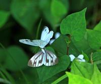 スジグロシロチョウの交尾 - イーハトーブ・ガーデン