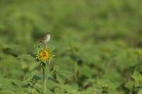 ひまわり【セッカ・オオヨシキリ・ムクドリ】 - 鳥観日和