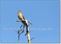 愛知県渥美半島の伊良湖岬は、江戸時代からサシバの渡りで名の通ったところ - THE LIFE OF BIRDS --- 野鳥つれづれ記