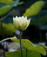 蓮華寺池公園の白蓮が咲きました。 - 蓮華寺池の隣5