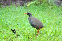 沖縄限定の鳥 - 暮らしの中で