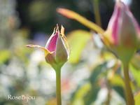 つぼみ好き🌹 - RoseBijou-parler*blog