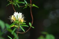 初夏の花 ~スイカズラ~ - 但馬・写真日和