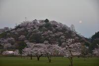 丸岡公園の桜 (2017年3月) - サアーの撮ろう登ろう日記