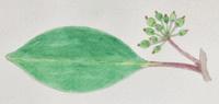 #植物スケッチ 『黒鉄黐』 - スケッチ感察ノート