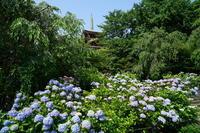 6月23日 本土寺の紫陽花 - てしやから君の撮影日記