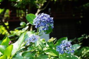 6月23日本土寺の紫陽花 - てしやから君の撮影日記