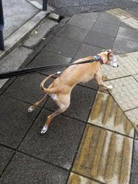 歩道橋を制覇する犬。 - イタグレ ルビーの日記  Ruby Tuesday