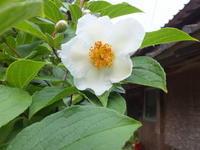 梅雨の儚い花 - アオモジノキモチ