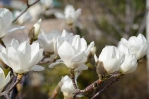 白木蓮の君 - 365歩のマーチ
