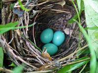 ヤマツツジの根元にコバルトブルーの卵3個!六国見山臨時 - 北鎌倉湧水ネットワーク