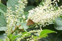 ■ トラフシジミ   17.6.23 - 舞岡公園の自然2
