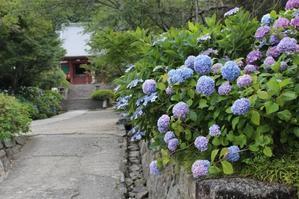 見頃です - 大和のお地蔵さまとアジサイの寺 矢田寺