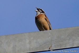 道端のホオジロの幼鳥 - とことん写真