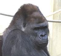 6月11日の東山動植物園のシャバーニやジャックたち - 黄金絹毛鼠(コガネキヌゲネズミ)