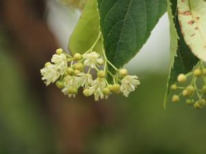 『科の木(シナノキ)と紫陽花(アジサイ)と白熊の木(ハグマノキ)の花達・・・・・』 - 自然風の自然風だより