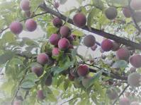 サツマイモ栽培を始める - 自然農☆☆☆菜園日記