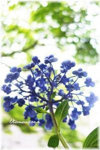 ポップコーン紫陽花 - 日々楽しく ♪mon bonheur