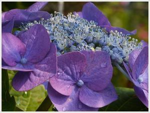 ちょっと一息季節の花を2紫陽花。。。 -