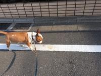 朝散歩 - ミニチュアブルテリアダージと一緒2