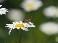 ギンイチモンジセセリ - 風の翅