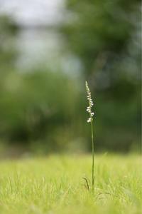 ネジバナ咲く - ecocoro日和