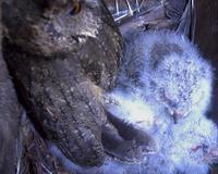 オオコノハズク スクスク成長 - おらんくの自然満喫