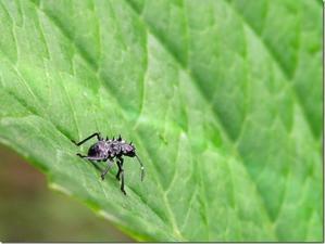 トゲトゲで武装してコワモテに見せてる虫の名は? - 昆虫ブログ むし探検広場