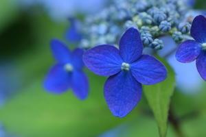 * 紫陽花ブルー * - 今日もカメラを手に・・・♪